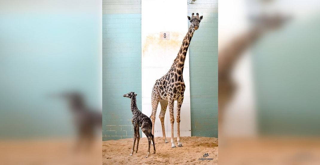 Baby giraffe dies at Calgary Zoo within week of being born