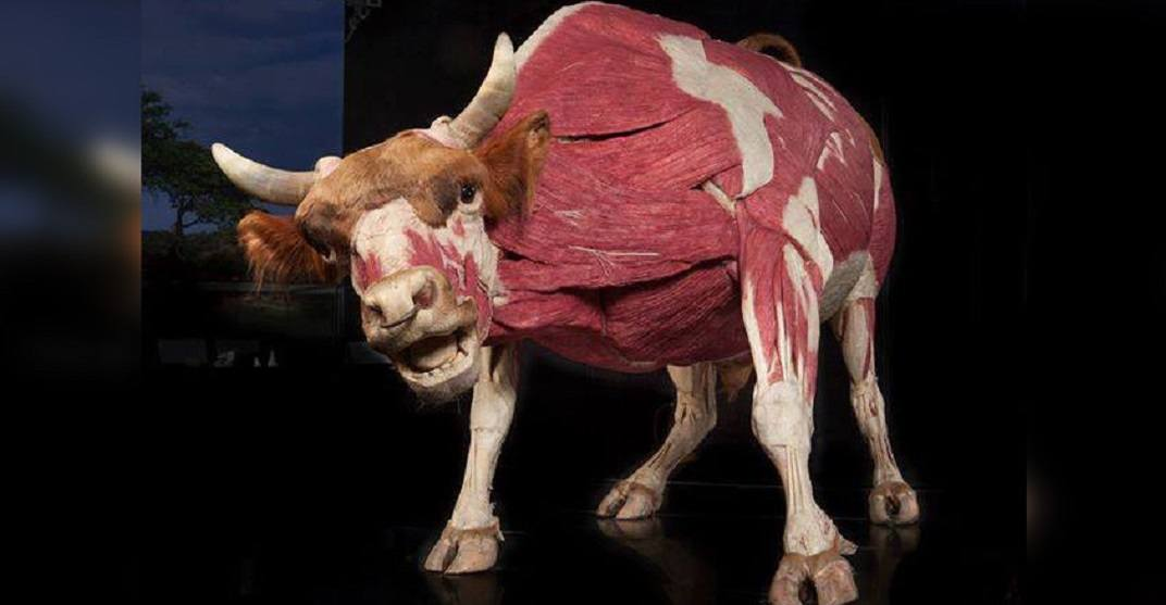 Check out the Telus Spark After Dark: Body Worlds exhibit on Thursday