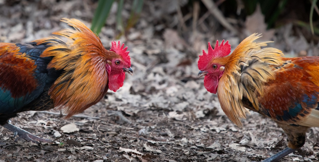 BC SPCA searches property suspected of cockfighting in Surrey