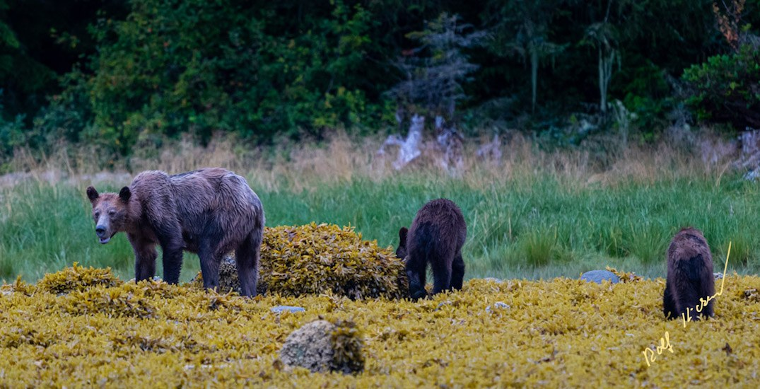 Starving grizzly bear photos sparks call to better protect wild BC salmon