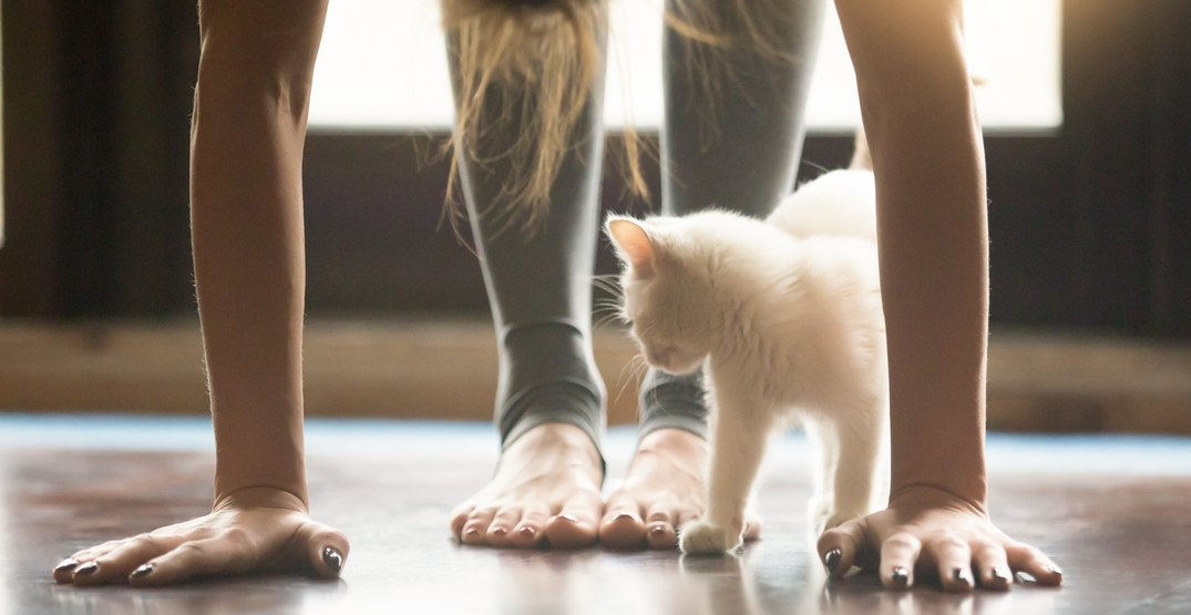 You can do feline yoga at Vancouver's magical cat cafe this month