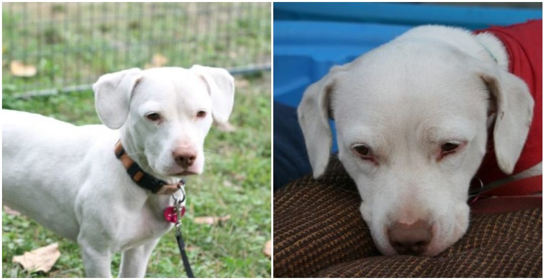 Adopt Me: The sweet little sugar cube with stubby legs (VIDEO)