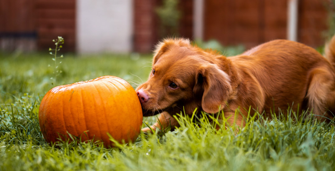 There's a dog-friendly pumpkin patch taking over Kitsilano this weekend