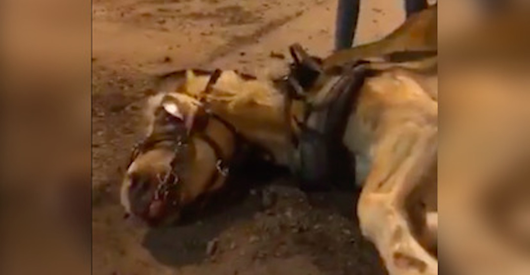 Another calèche horse collapsed in Montreal over the weekend (VIDEO)
