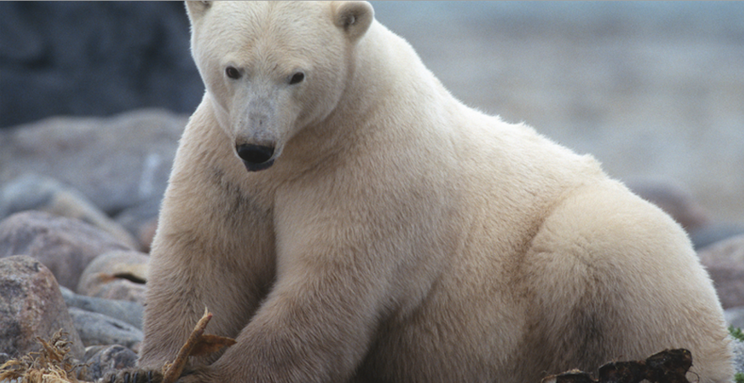 Watch wild polar bears in their natural habitat on this live-feed