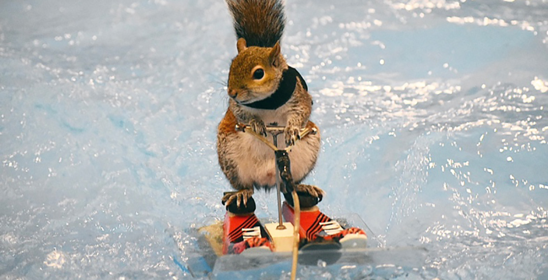 A water-skiing squirrel is coming to the Vancouver International Boat Show