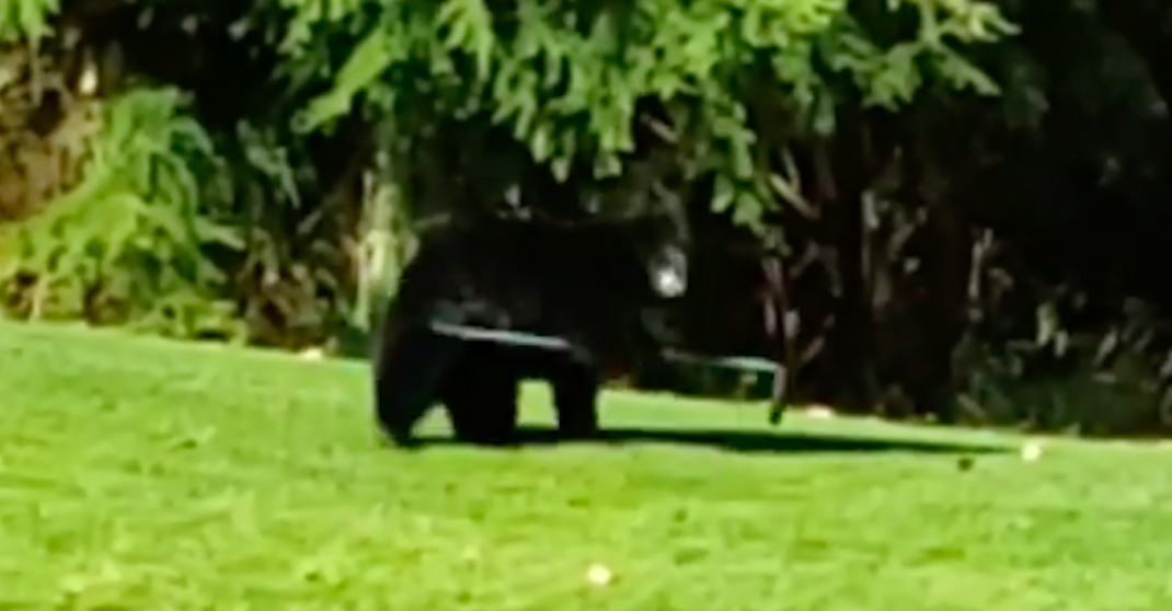 Watch this bear take on a rake at a North Vancouver golf course (VIDEO)