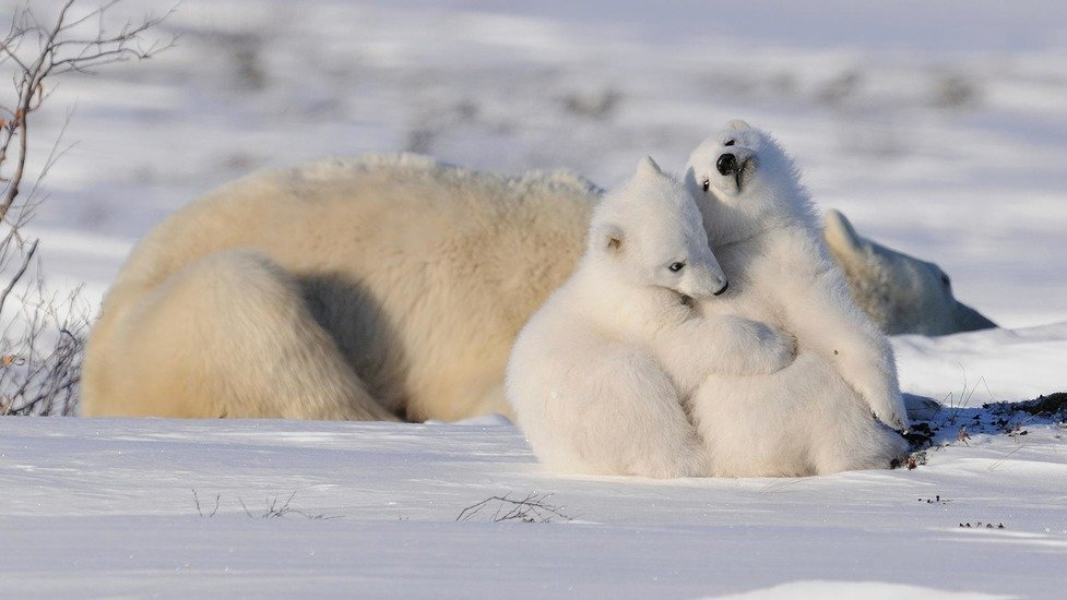 An annual polar bear gathering is happening in Canada right now (PHOTOS)