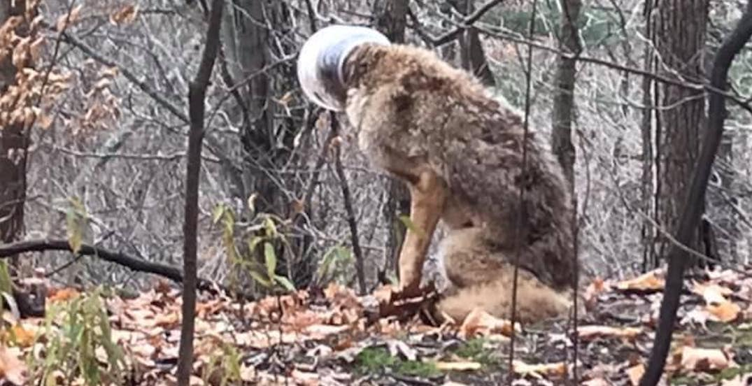 Coyote in Ontario with head stuck in plastic container rescued (PHOTOS)