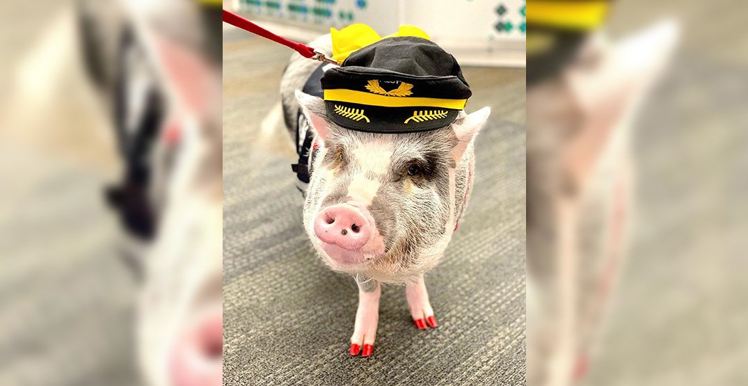 The world's first airport therapy pig is comforting US flyers