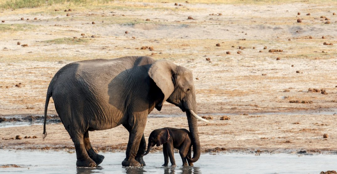 Mass relocation of animals underway following death of 200 elephants