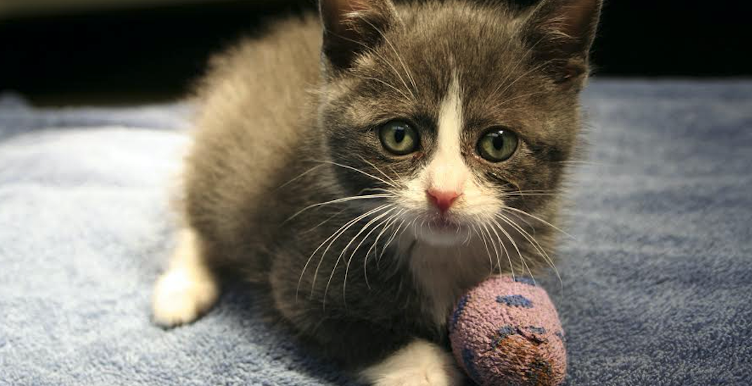 Kitten needs emergency care after arriving at BC SPCA with injured leg (VIDEO)