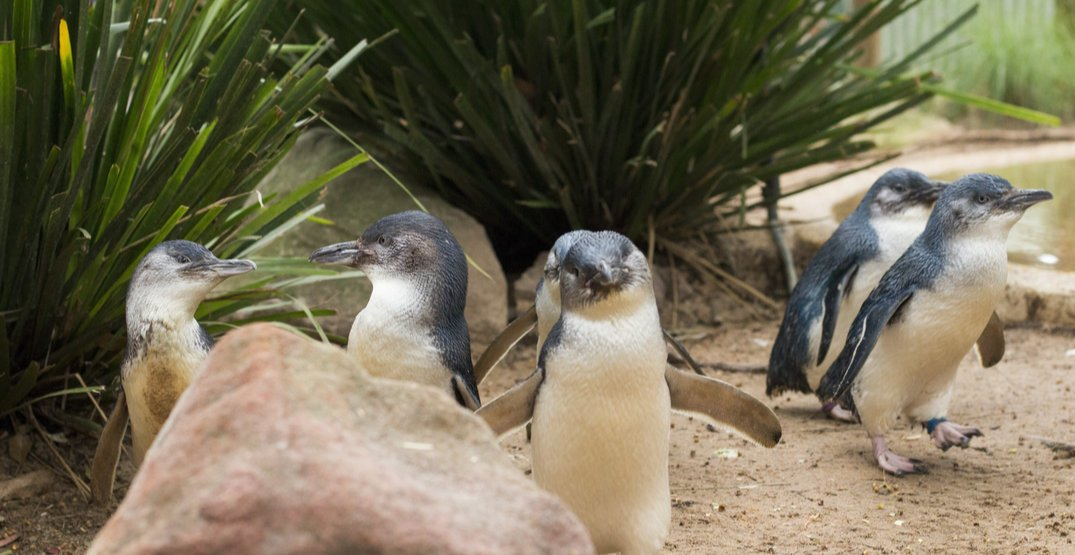 """There is a nightly """"Penguin Parade"""" on this tiny Australian island (PHOTOS)"""