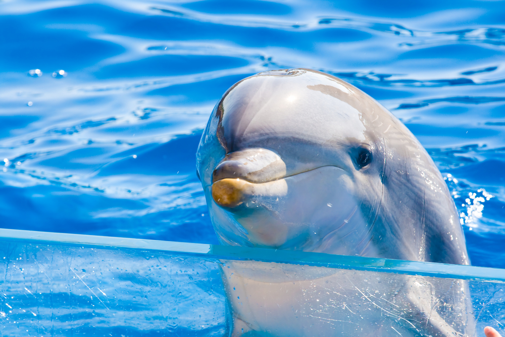 bottle-nose-dolphin