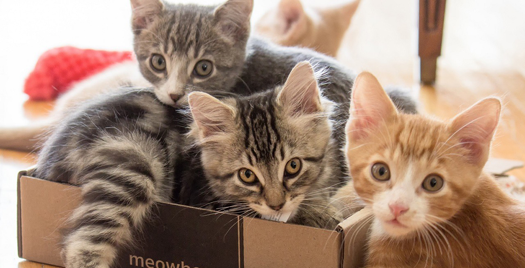 The purrfect cat convention returns to Vancouver this summer