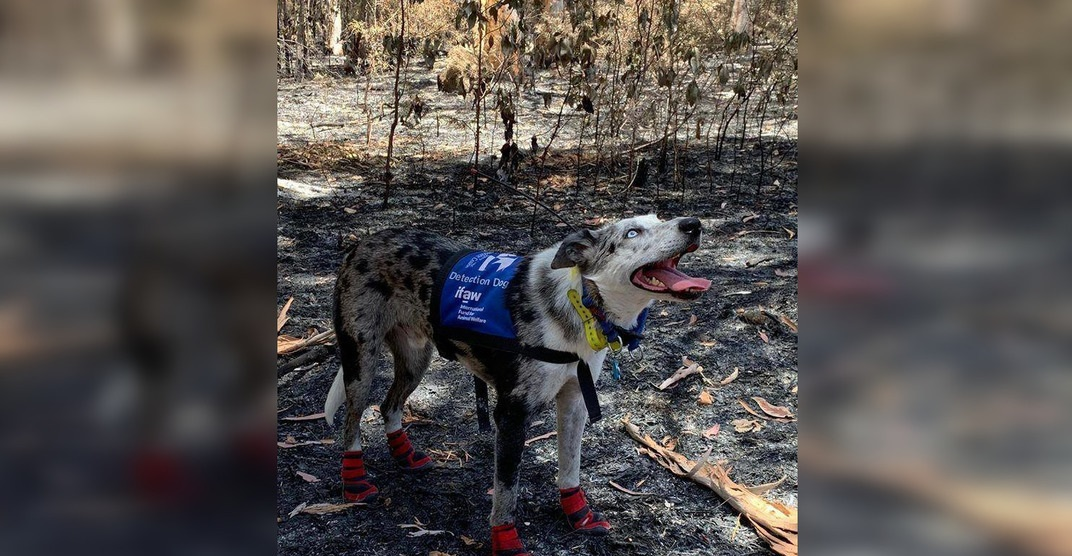 A dog is helping rescue koalas from the Australian wildfires