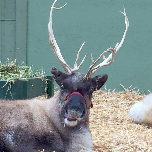 Reindeer Festival
