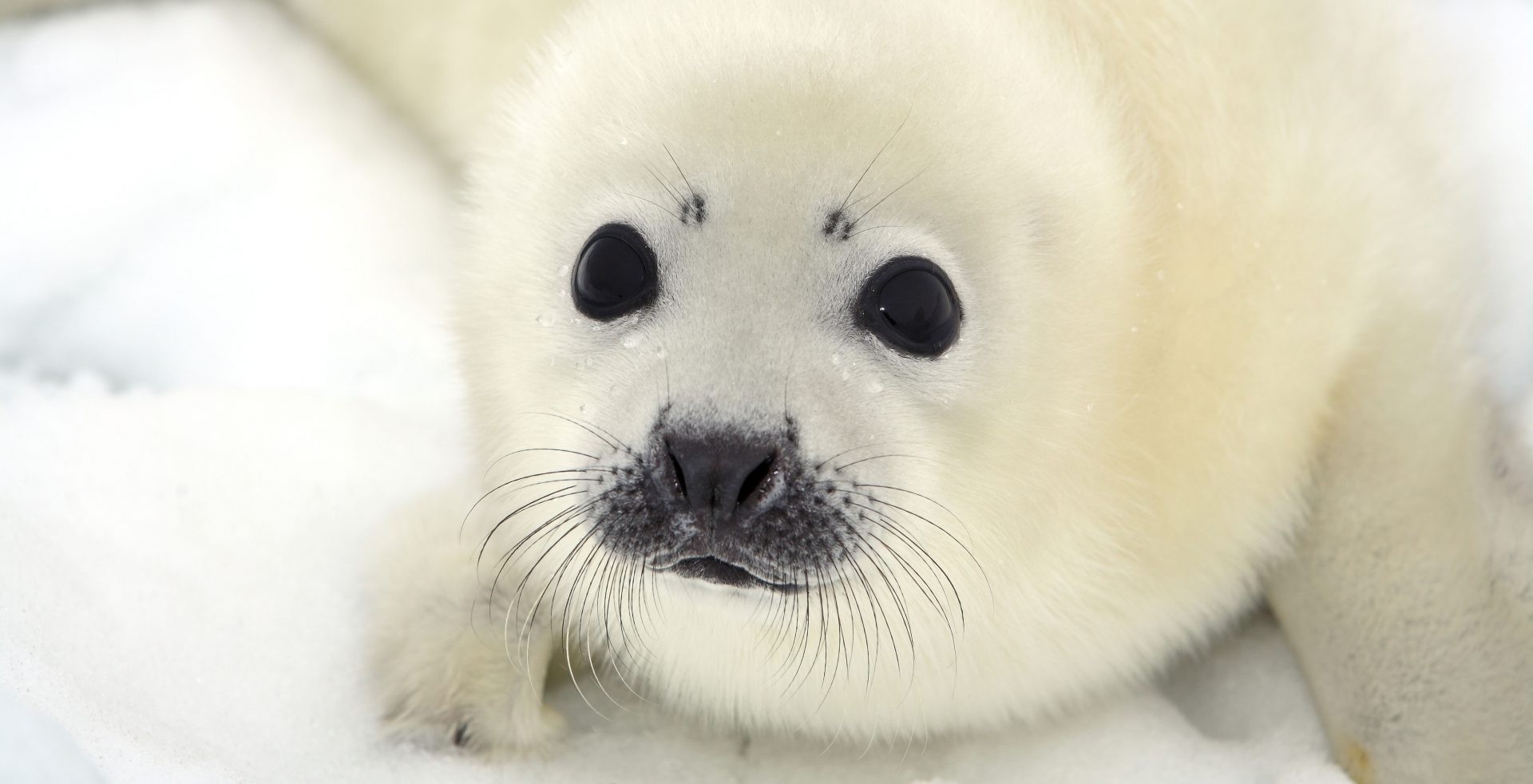 Seal pups make Canada's Magdalen Islands a National Geographic top travel destination
