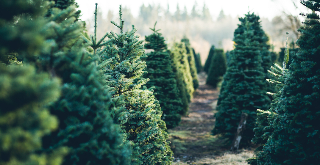 5 places to find the perfect pre-cut Christmas tree in Seattle