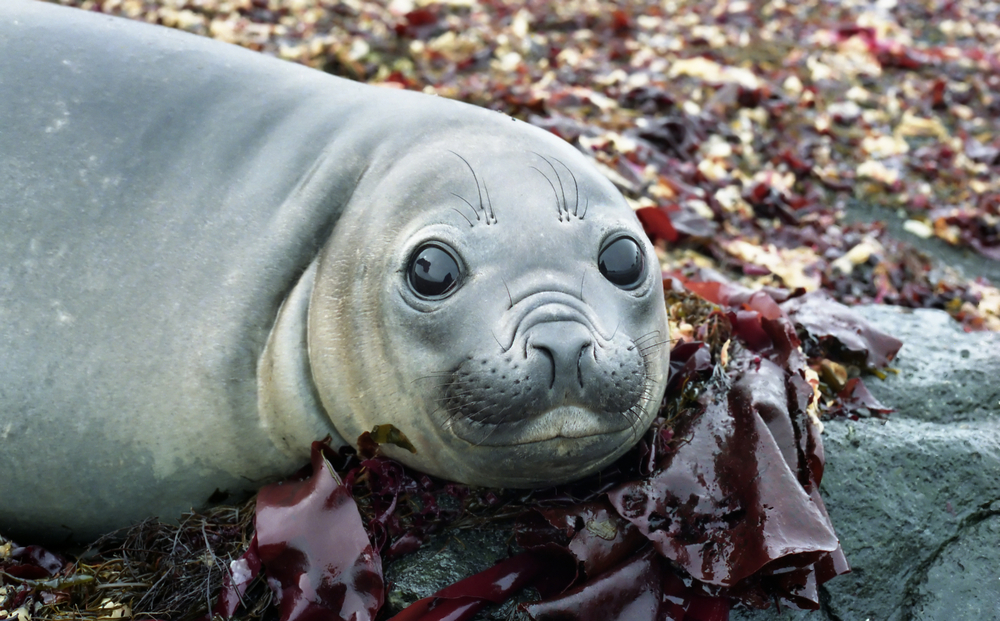 young-elephant-seal