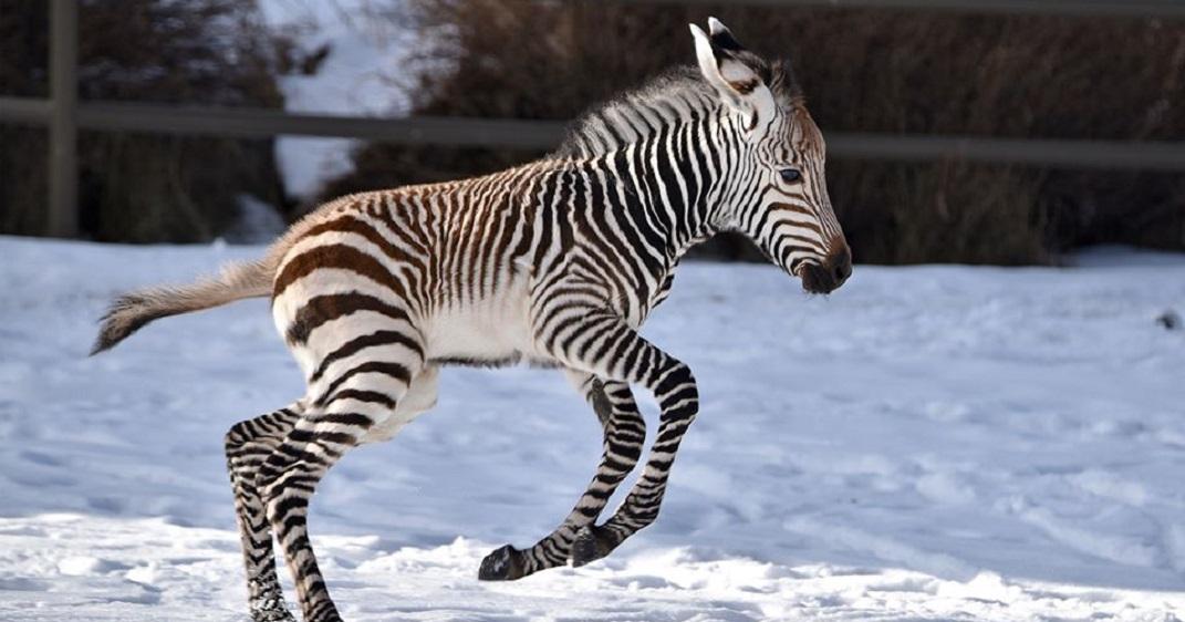 A baby zebra was born at the Calgary Zoo on Sunday (PHOTOS)
