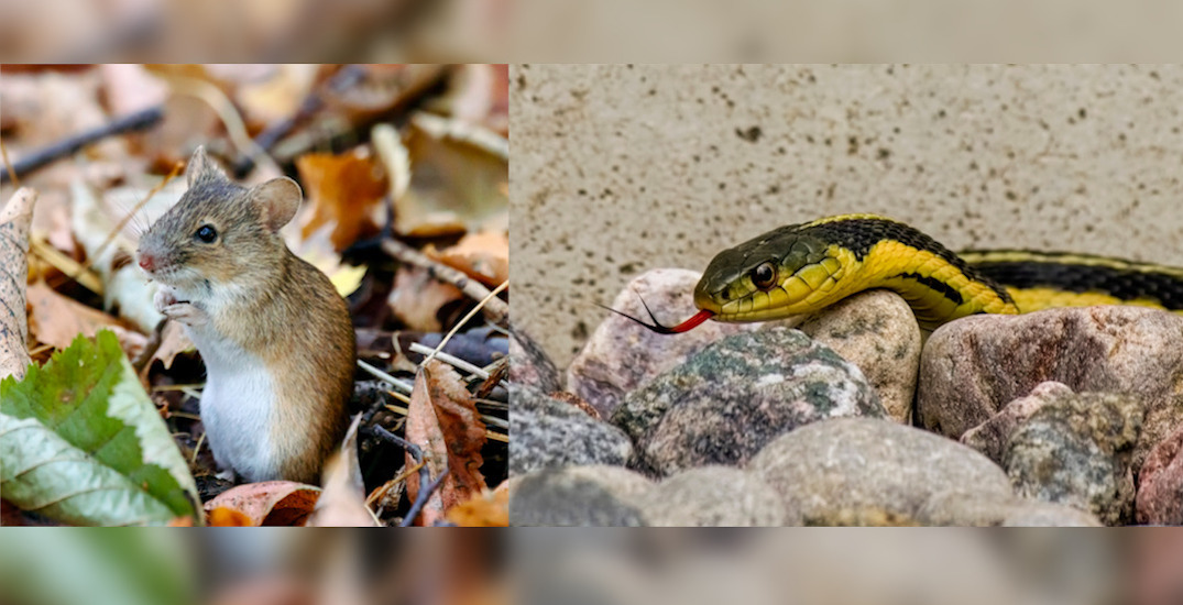 Salmonella outbreak in 6 Canadian provinces linked to snakes and rodents: PHAC