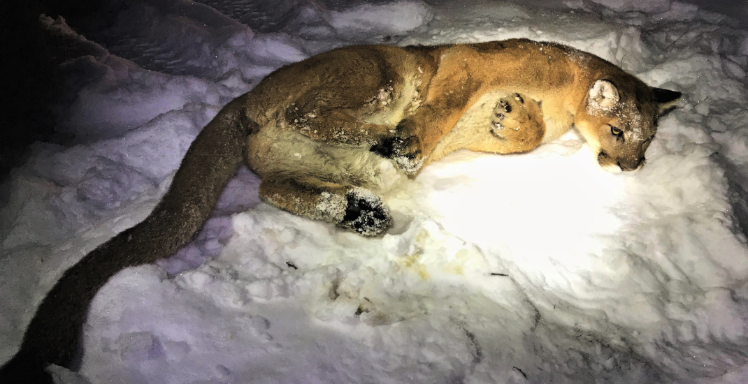 "BC Conservation Service frees cougar ""unintentionally"" caught in trap"