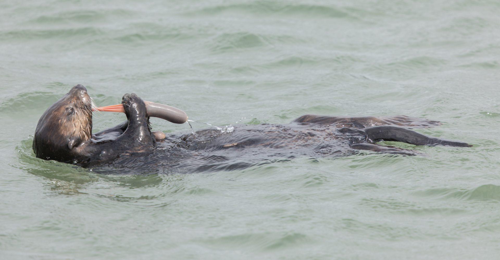 penis-fish-otter-eating
