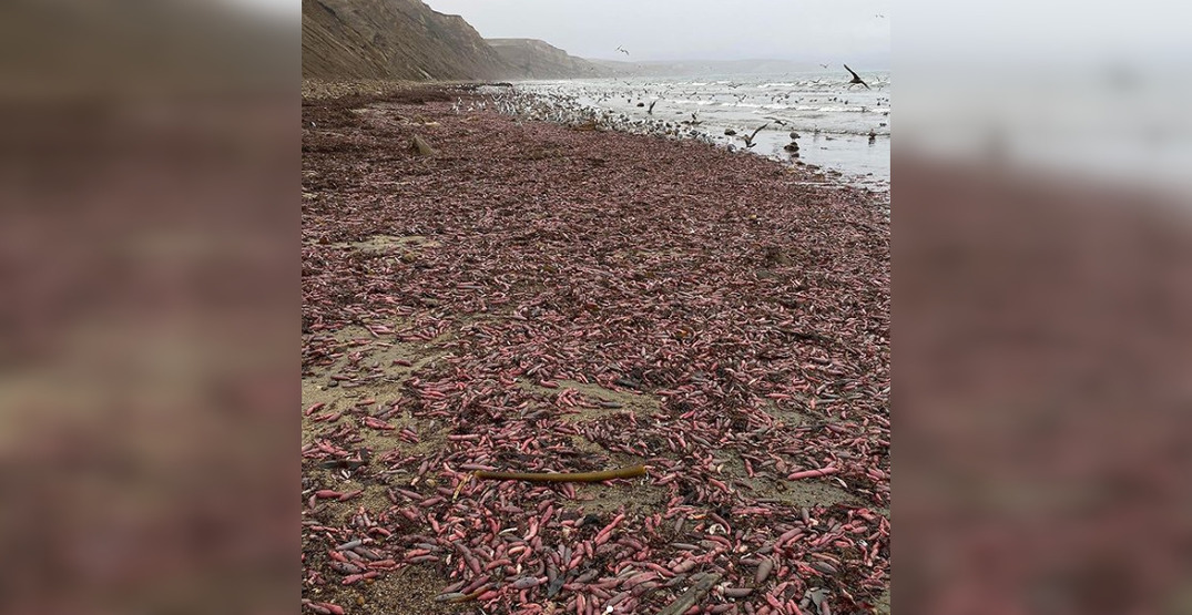 Thousands of 'penis fish' are washing up on a beach in California