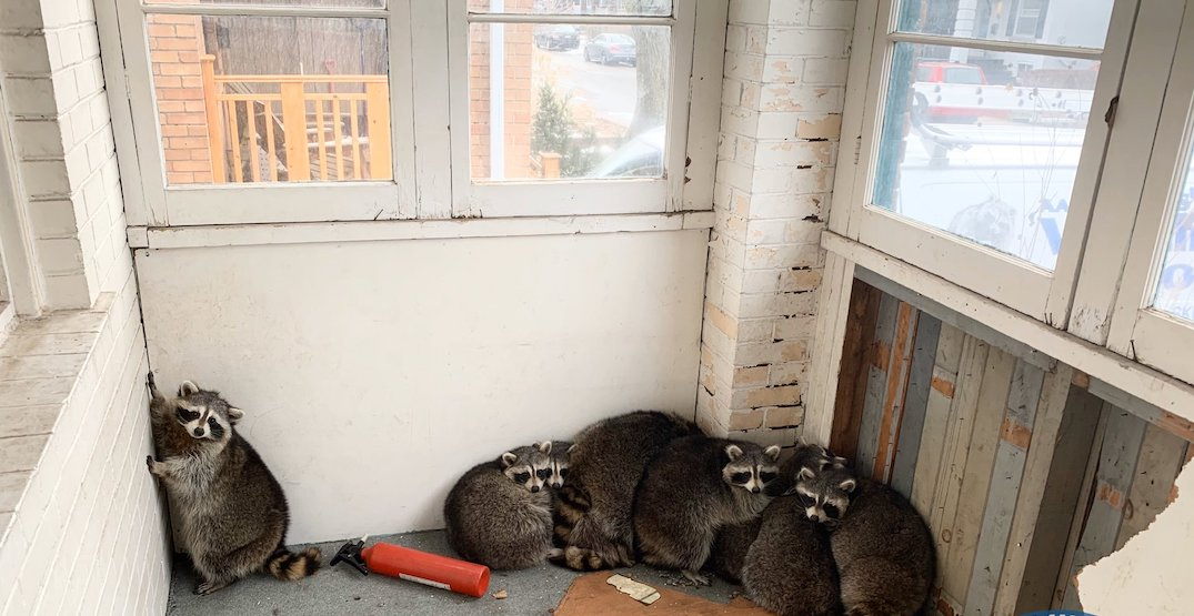 Family of 10 chubby raccoons gets kicked out of Toronto home (VIDEO)
