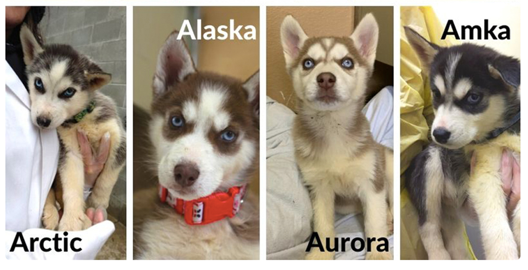 17 surrendered husky puppies now available for adoption