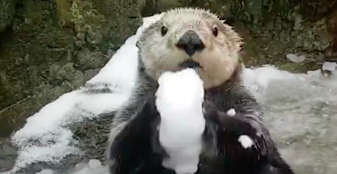 Otters at Vancouver Aquarium have cutest response to the snow (VIDEO)