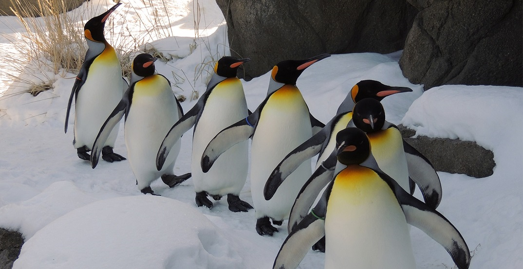 Calgary Zoo's Penguin Walk cancelled because it's too cold for the birds