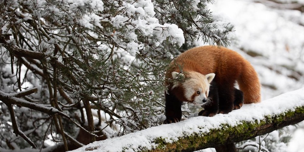 The animals at the Woodland Park Zoo love the Seattle snow (PHOTOS)
