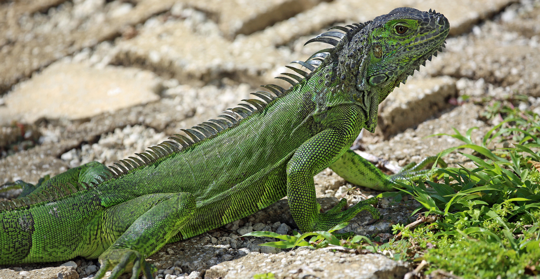National Weather Service calls for falling iguanas in Miami forecast