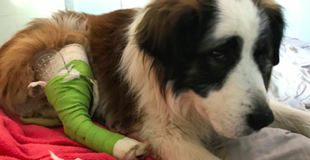 BC SPCA asking for help in caring for dog who was shot in the leg
