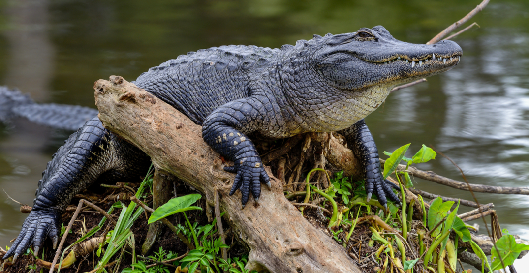 Try a bite of alligator at a Texan BBQ spot in Seattle next weekend