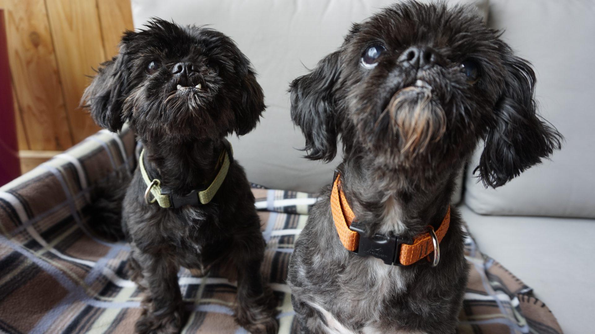 adopt dog seattle