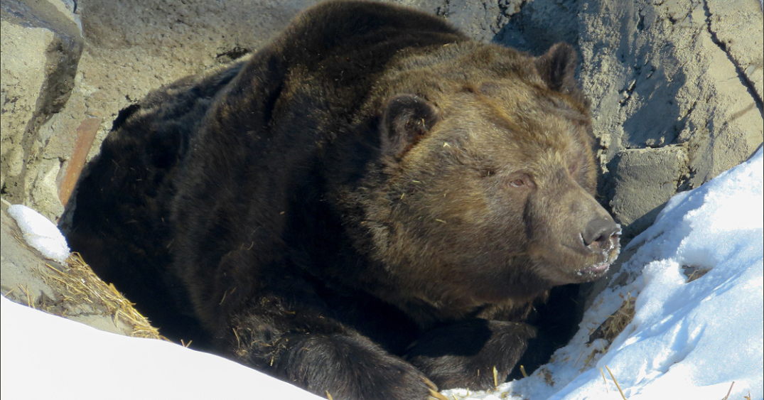 Calgary was so warm that the zoo's grizzly bear came out of hibernation