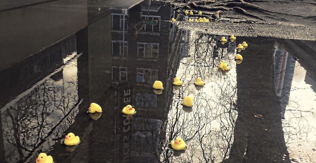 Rubber ducks are appearing in Seattle puddles (PHOTOS)