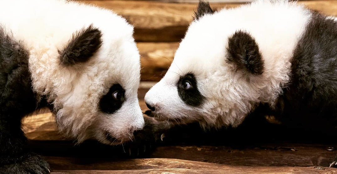 Germany S First Baby Pandas Make Public Debut At Berlin Zoo Mapped