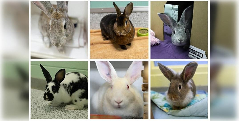 Calgary Humane Society hosting emergency bunny adoption event