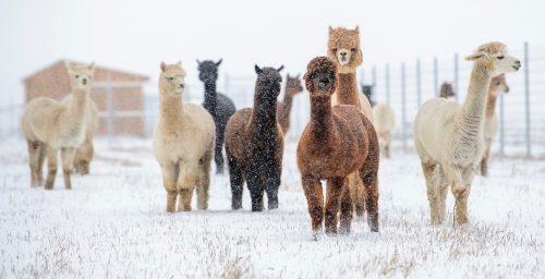 Montreal alpacas