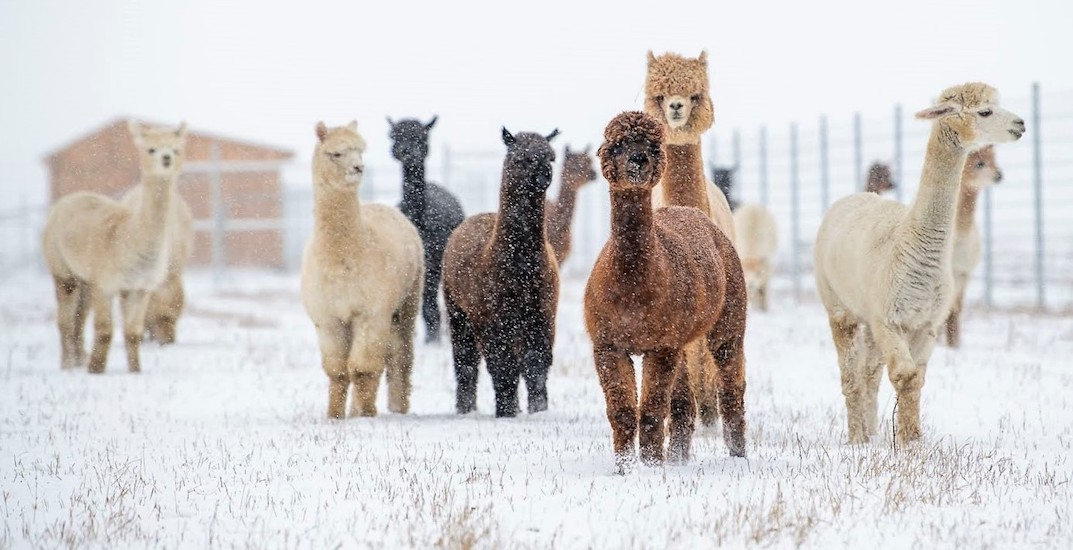 You can cozy up to woolly alpacas in Old Montreal over March break