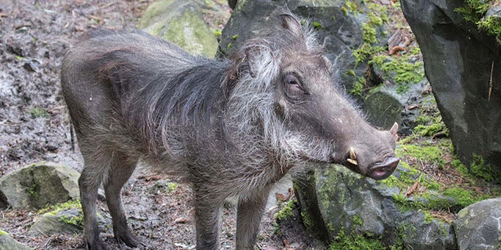 The Woodland Park Zoo just added 2 new warthogs to the family