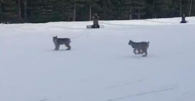 Pair of lynx spotted crossing run at ski resort in Canadian Rockies (VIDEO)