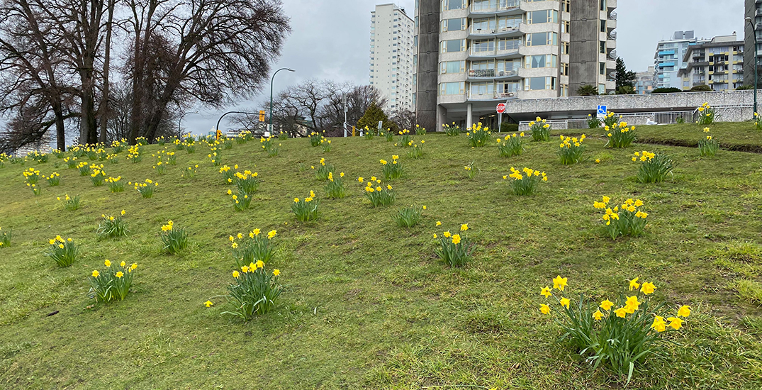 Daffodils and cherry blossoms are already popping up in Metro Vancouver