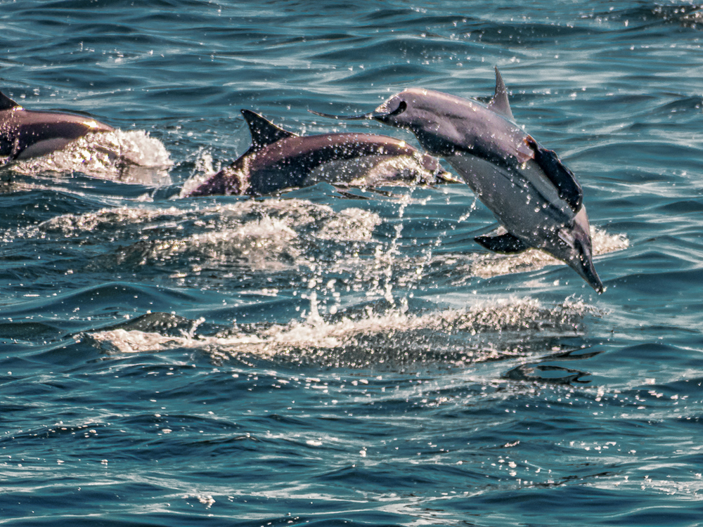 bottleneck-dolphins-sea-of-cortez