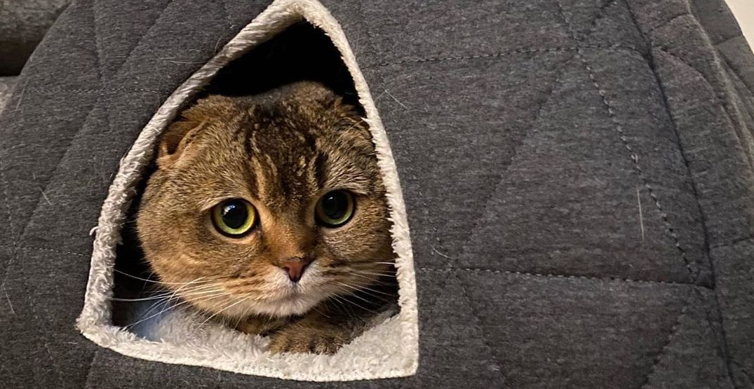3 FREE pop-up cat cafes are coming to the Seattle Metro Area on March 7