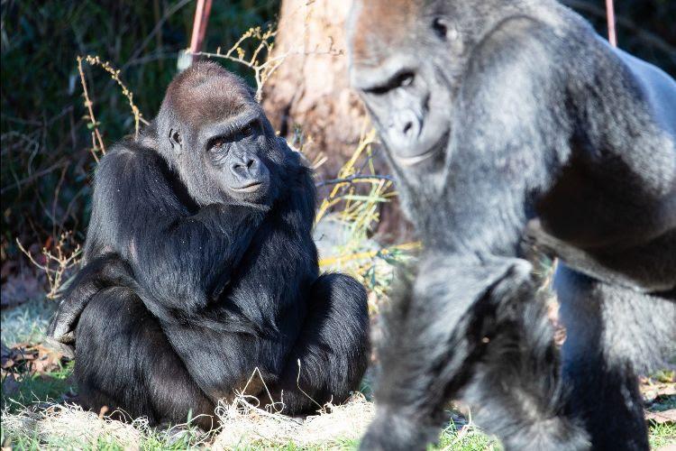 woodland park zoo gorillas